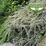 Cotoneaster atropurpureus 'Variegatus', Кизильник атропурпуреа 'Варієгатус',C2 - горщик 2л, фото 4