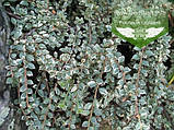 Cotoneaster atropurpureus 'Variegatus', Кизильник атропурпуреа 'Варієгатус',C2 - горщик 2л, фото 5