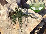 Cotoneaster dammeri, Кизильник Даммера,P7-Р9 - горщик 9х9х9, фото 2