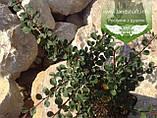 Cotoneaster dammeri, Кизильник Даммера,P7-Р9 - горщик 9х9х9, фото 4