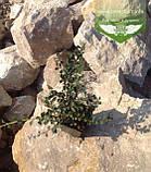 Cotoneaster dammeri, Кизильник Даммера,P7-Р9 - горщик 9х9х9, фото 5