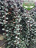 Cotoneaster dammeri, Кизильник Даммера,P7-Р9 - горщик 9х9х9, фото 7
