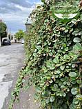 Cotoneaster dammeri, Кизильник Даммера,P7-Р9 - горщик 9х9х9, фото 10