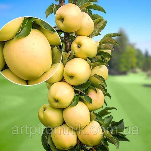 Яблуня колоновидна Президент