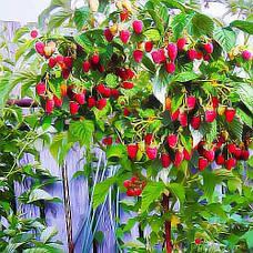 Саженцы малинового дерева