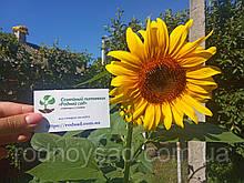 Подсолнух белый гигантский семена 10 грамм (около 100 шт)