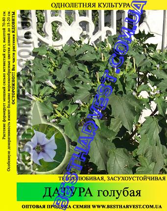 Насіння Датура (дурман) блакитна 50 г, фото 2