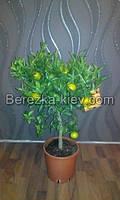 Мандарин Комнатный - Citrus reticulata