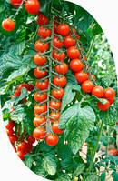 Семена томата черри Порпора F1 250 сем