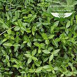 Euonymus fortunei 'Tustin', Бересклет Форчуна 'Тустін',C5 - горщик 5л, фото 2