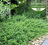 Euonymus fortunei 'Tustin', Бересклет Форчуна 'Тустін',C5 - горщик 5л, фото 3