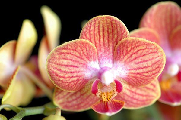 Уценка! Подростки орхидеи. Сорт Long pride sunkist горшок 1.7 без цветов