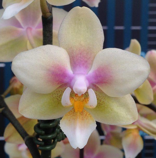 Уценка. Подростки орхидеи. Сорт Long pride Leah горшок 1.7 без цветов
