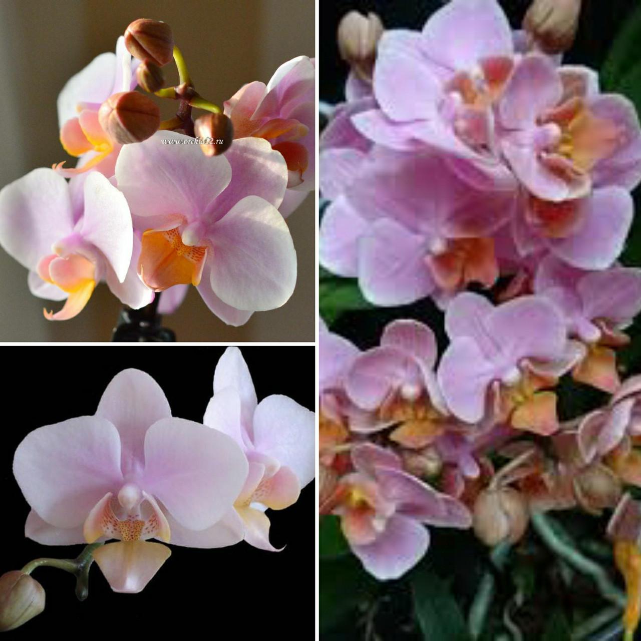 Уцінка, легкі подряпини. Підлітки орхідеї. Сорт little Brother Amaglad горщик 1.7 без квітів