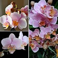 Уцінка, легкі подряпини. Підлітки орхідеї. Сорт little Brother Amaglad горщик 1.7 без квітів, фото 1