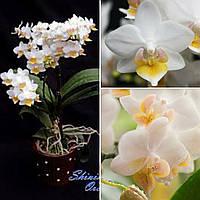 Підлітки орхідеї. Сорт Liu's fantasy горщик 1.7 без квітів