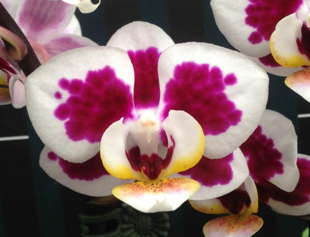 Підлітки орхідеї. Сорт Long pride doll горщик 1.7 без квітів