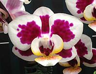 Підлітки орхідеї. Сорт Long pride doll горщик 1.7 без квітів, фото 1
