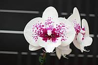 Орхидея Сорт Long Pride Pure Spirit горшок 2.5 без цветов