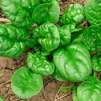 Семена шпината Корваир 25тыс  0,3 кг