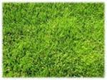 Газонная трава , Купить,  семена для газона
