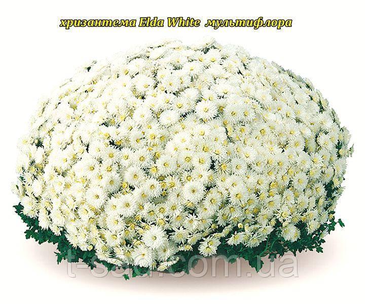 Хризантема Elda White (Эльда Уайт). Мультифлора розсада