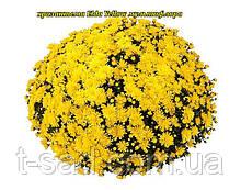 Хризантема Elda Yellow (Эльда Желтая).  Мультифлора рассада