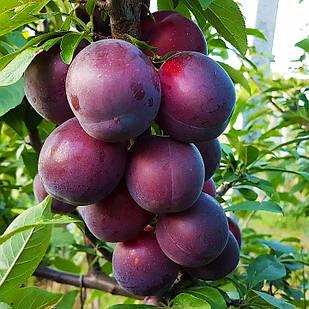Саженцы Алычи Глобус (2-х летняя) - среднего срока, крупноплодная, урожайная