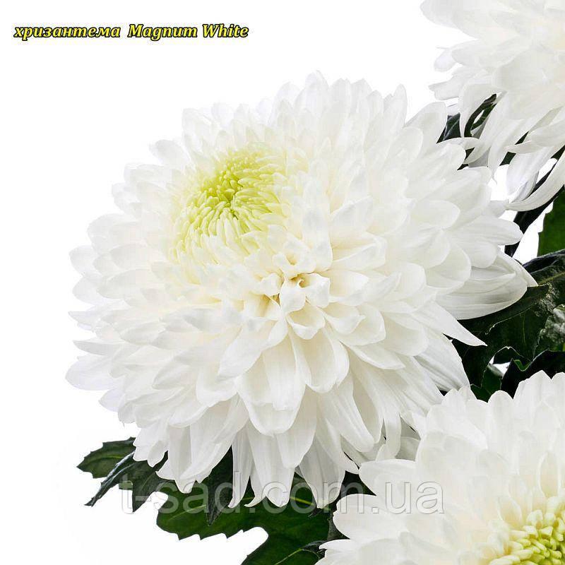 Хризантема Magnum White (Магнум білий) великоквіткова, срезочная розсада