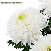 Хризантема Magnum White (Магнум белый) крупноцветковая, срезочная рассада