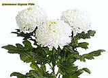 Хризантема Magnum White (Магнум білий) великоквіткова, срезочная розсада, фото 5