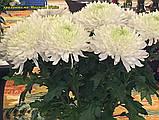 Хризантема Magnum White (Магнум білий) великоквіткова, срезочная розсада, фото 6