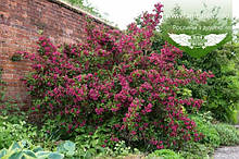 Weigela florida 'Bristol Ruby', Вейгела квітуча 'Брістол Рубі',C5 - горщик 5л