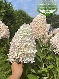Hydrangea paniculata 'Magical Sweet Summer', Гортензія волотиста 'Меджікал Світ Самер',C2 - горщик 2л, фото 3