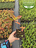 Hydrangea paniculata 'Magical Sweet Summer', Гортензія волотиста 'Меджікал Світ Самер',C2 - горщик 2л, фото 4