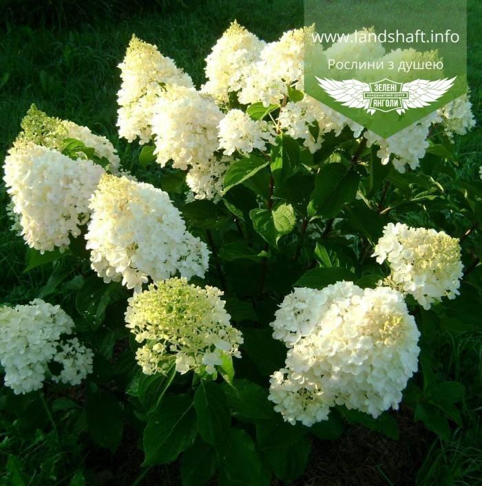 Hydrangea paniculata 'Silver Dollar', Гортензія волотиста 'Сілвер Доллар',C25 - горщик 20-25л