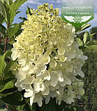 Hydrangea paniculata 'Silver Dollar', Гортензія волотиста 'Сілвер Доллар',C25 - горщик 20-25л, фото 2