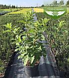 Hydrangea paniculata 'Silver Dollar', Гортензія волотиста 'Сілвер Доллар',C25 - горщик 20-25л, фото 3