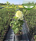 Hydrangea paniculata 'Silver Dollar', Гортензія волотиста 'Сілвер Доллар',C25 - горщик 20-25л, фото 4