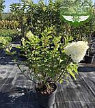 Hydrangea paniculata 'Silver Dollar', Гортензія волотиста 'Сілвер Доллар',C25 - горщик 20-25л, фото 5