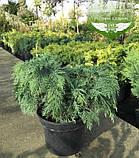 Hydrangea paniculata 'Silver Dollar', Гортензія волотиста 'Сілвер Доллар',C25 - горщик 20-25л, фото 6