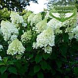 Hydrangea paniculata 'Silver Dollar', Гортензія волотиста 'Сілвер Доллар',C25 - горщик 20-25л, фото 7