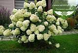 Hydrangea paniculata 'Silver Dollar', Гортензія волотиста 'Сілвер Доллар',C25 - горщик 20-25л, фото 8