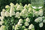 Hydrangea paniculata 'Silver Dollar', Гортензія волотиста 'Сілвер Доллар',C25 - горщик 20-25л, фото 9