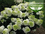Hydrangea paniculata 'Silver Dollar', Гортензія волотиста 'Сілвер Доллар',C25 - горщик 20-25л, фото 10
