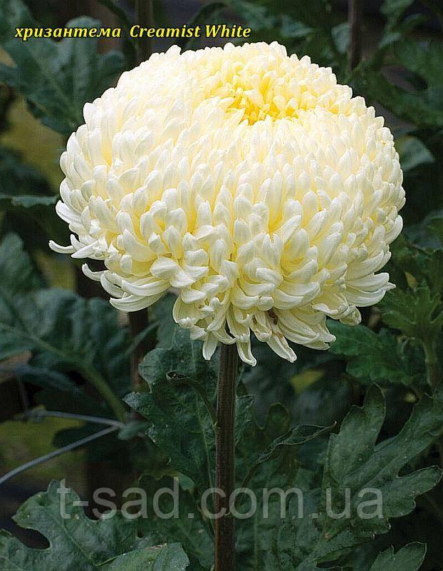 Хризантема Creamiest White (Кремист Вайт) великоквіткова, срезочная розсада
