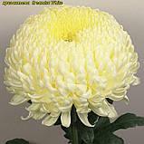 Хризантема Creamiest White (Кремист Вайт) великоквіткова, срезочная розсада, фото 2