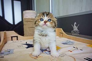 Мальчик. Шотландский вислоухий - золотая шиншилла, рожден 27.04.2021 в питомнике Royal Cats. Украина, Киев