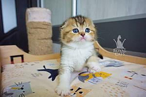 Девочка. Шотландская вислоухая - золотая шиншилла, рождена 27.04.2021 в питомнике Royal Cats. Украина, Киев