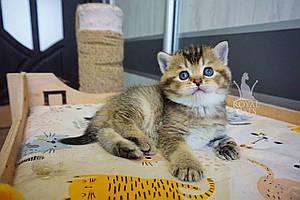 Мальчик. Шотландский прямоухий - золотая шиншилла, рожден 27.04.2021 в питомнике Royal Cats. Украина, Киев